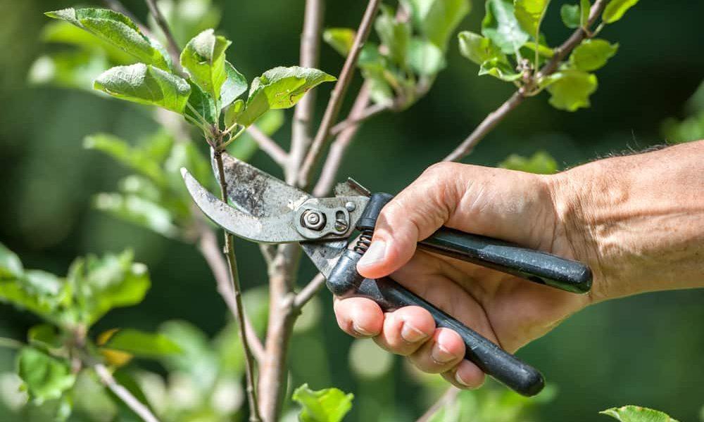 shearing-pruning-trees-plants